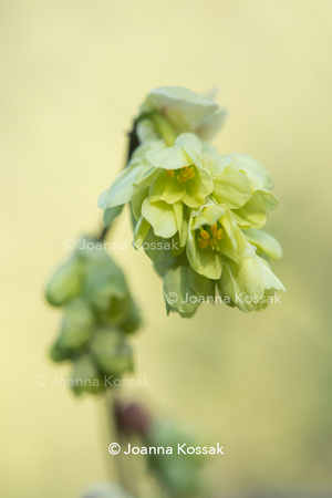 Corylopsis glabrescens - fragrant winter hazel