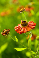 Red flowers of Helenium