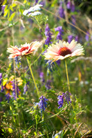 Gaillardia pulchella and Vicia cracca
