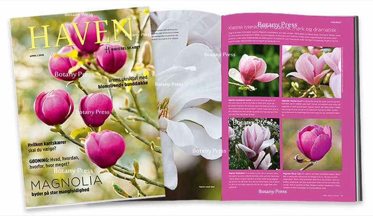 Magnolia black tulip 'Jurmag1' by phtographer Joanna Kossak - front cover of Haven April 2016
