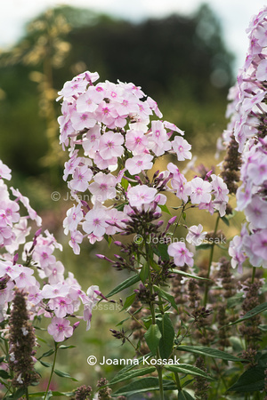 Phlox paniculata 'Mother of pearl'