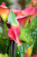 This is a plant portrait of Zantedeschia 'Red Alert' PBR