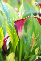 This is a plant portrait of Zantedeschia 'Red Emotion' PBR