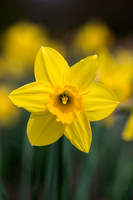 Narcissus 'Fortune'