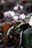 Frosted Cyclamen