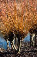 Salix alba var. vitellina 'Yelverton' - golden willow
