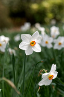 Narcissus 'Actaea' - daffodil 'Actaea' (syn. Narcissus poeticus 'Actaea'); AGM