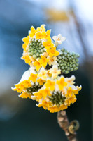 Edgeworthia chrysantha - paperbush