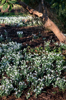 Naturalised Galanthus nivalis under trees