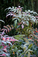 Mahonia japonica with frost; AGM