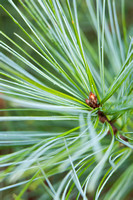 Pinus - close up