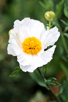 Romneya coulteri, Tree poppy