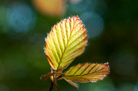 Young leaves of Fagus sylvatica f. purpureaa