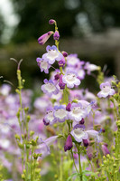 Penstemon 'Lady Alice Hindley'