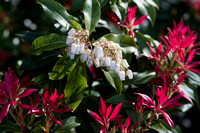 Pieris floribunda 'Forest Flame'