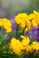 Erysimum cheiri 'Sunset yellow'