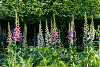 Digitalis purpurea planted in front of carpinus floating cubes