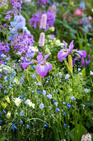 Mix of pink and blue spring dflowers including Iris sibirica 'Sparkling Rose', Persicaria bistorta 'Superba', Aquilegia 'Kristall', Hesperis matronalis