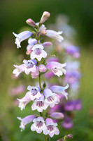 Penstemon 'Stapleford Gem'