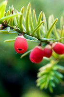 Taxus baccata - Yew berries in Autumn
