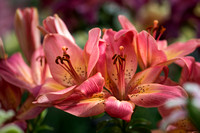 Asiatic Lily 'Arsenal'