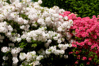 Azalea 'White Lights' and 'Spicy lights'