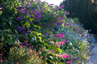 Salvia involucrata 'Boutin' with Salvia 'Purple Majesty'