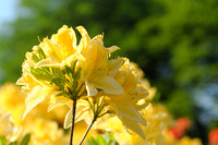 Rhododendron 'Anthony Koster'