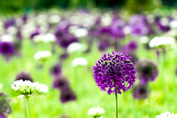 Allium hollandicum 'Purple Sensation in RHS Garden Wisley, Surrey, UK