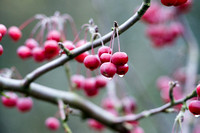 Malus hupehensis -red apples in winter