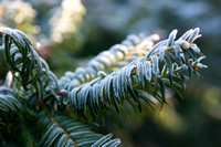 Frosted leaves of Taxus baccata 'Summergold'