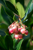 Arbutus unedo f. rubra - pink strawberry tree