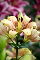 Longiflorum Asiatic LIly 'Sweet Desire'