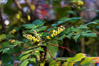 Mahonia japonica in bloom
