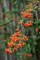 Pyracantha 'Orange glow' - Firethorn