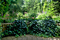 Stone retaining wall  covered by Hedera helix. Entrance to the g